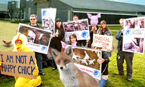 """A group of Boulder vegans plans to hold a candle-light vigil outside a local free-range chicken farm until """"all of the majestic flightless birds held prisoner in these chicken-wing concentration camps are free to roam the Earth as they see fit."""" A local fox, upon hearing of the group's demands, said """"yes, please, I'm quite hungry."""""""